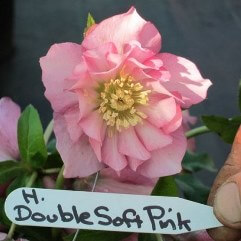 Hellebore Double Soft Pink